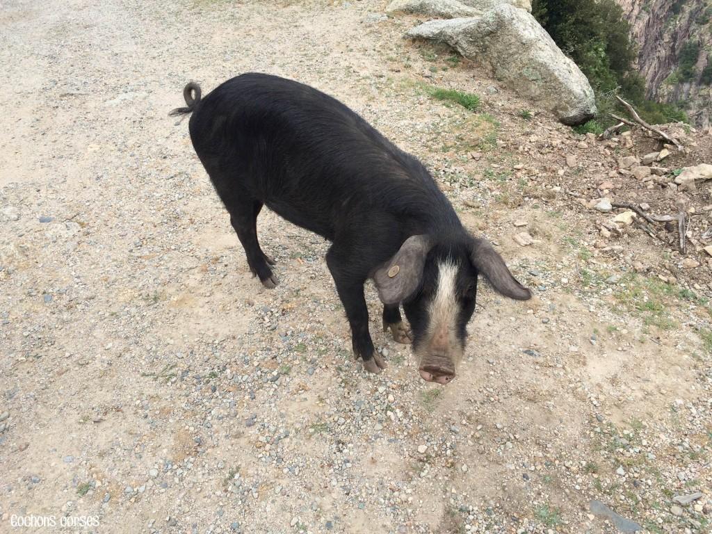 corse - cochon 3