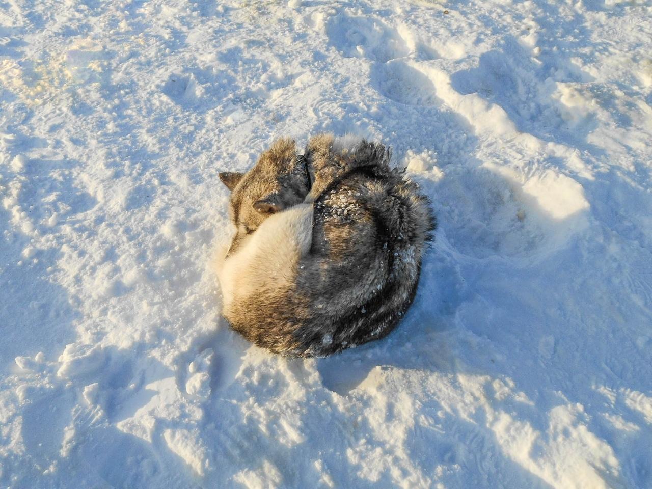 islande chien de traineau