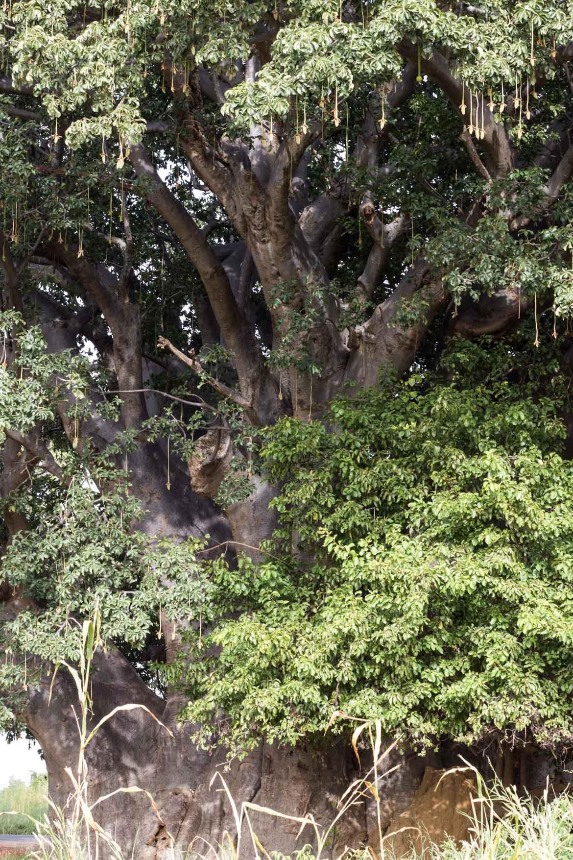 une semaine au senegal decouverte depaysement baoba sacre