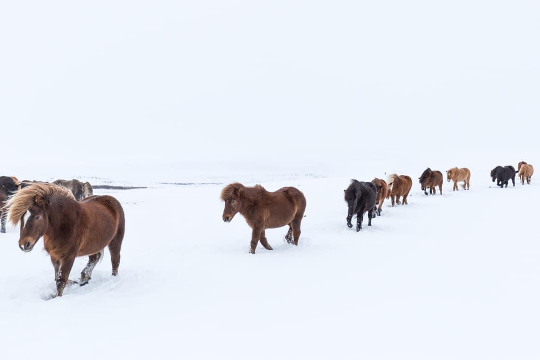road trip hivernal en islande chevaux islandais